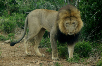 Lion in Addo Park